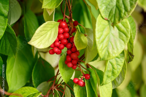 Schisandra chinensis or five-flavor berry on a branch. Fresh red ripe berries on green leaves in garden.