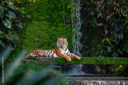 Fotografia Bengal tiger resting Near the waterfall with green moss from inside the jungle zoo