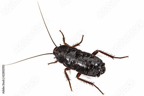 Black cockroach, lat. Blatta orientalis, isolated on white background