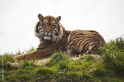 Fototapeta premium Tygrys ustanawiający odpoczywa i gapi się patrząc prosto przed siebie