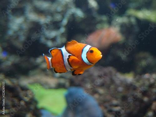 Fotografía pesce pagliaccio