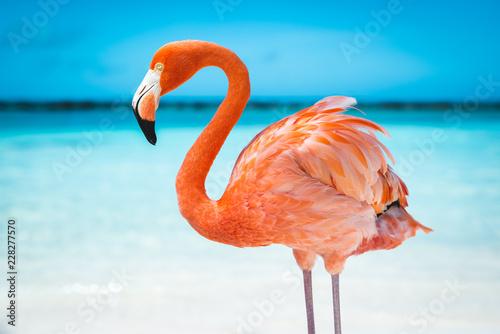 Fototapeta fenicottero rosa