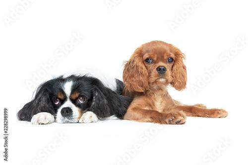 Fotografija Two dogs isolated on white