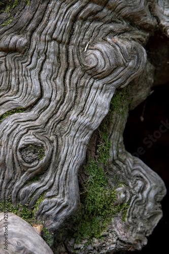 Interesting sweet chestnut tree bark in forest