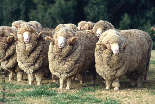 Stud Merino ram at at a farm in Australia.sheep