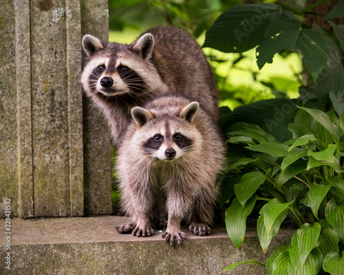 Canvas Print Two raccoons surprised by human presence