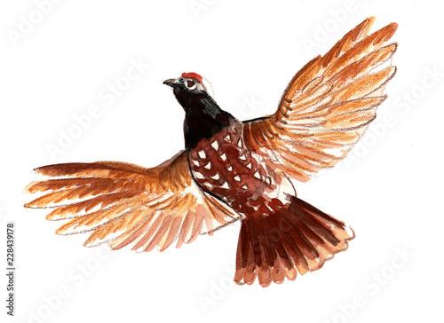Flying black grouse bird. Ink and watercolor illustration Fototapet