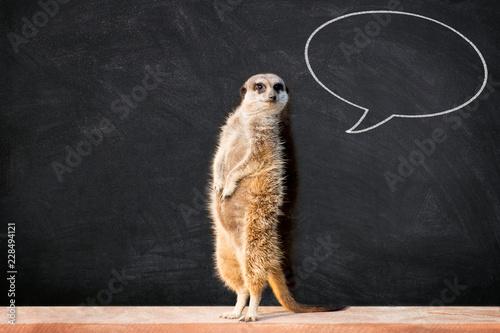 Carta da parati Portrait of a meerkat standing and looking alert against blackboard with chalk speech bubble