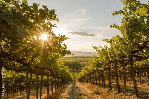 Obraz na płótnie A Close up view of a Vineyard on a hill at sunset - Washington state