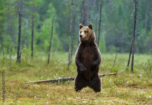 Fototapeta Eurasian brown bear standing on hind legs