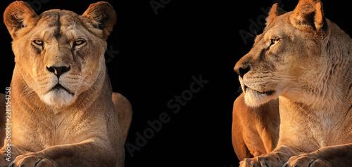 Fototapeta premium Dwie lwice (lwia pustynia)