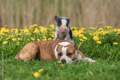 Mini pig and dog on the field with dandelions