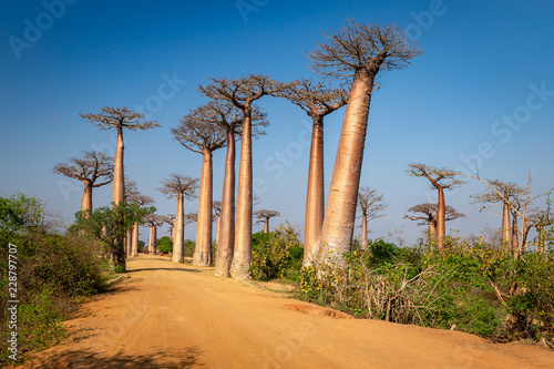 Canvas Print Avenue of the Baobabs near Morondova, Madagascar.