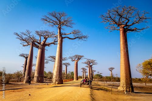 Fotografia Horse cart on the Avenue of the Baobabs near Morondova, Madagascar