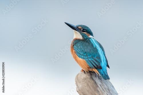 Fototapeta Beautiful nature scene with Common kingfisher (Alcedo atthis)