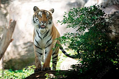Billede på lærred Bengal Tiger in forest