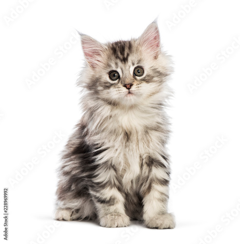 Photo Maine coon kitten, 8 weeks old, in front of white background