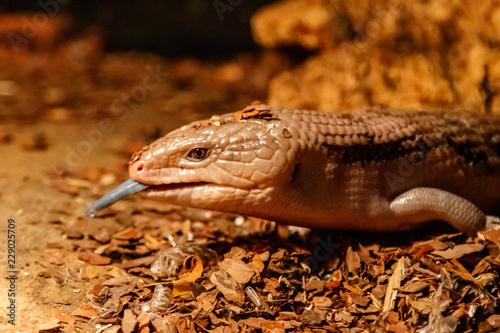 Beautiful blue-eyed skink lizard, tiliqua scincoides