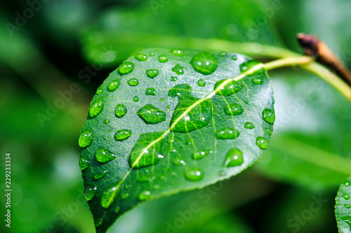 Tela shiny transparent drops of morning dew roll down from a pear leaf in the spring