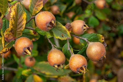 Fruit of Common medlar - Mespilus germanica
