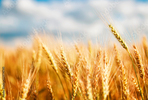 Fotografia natural with ripe ears and grains of wheat matured on a yielding agricultural fi