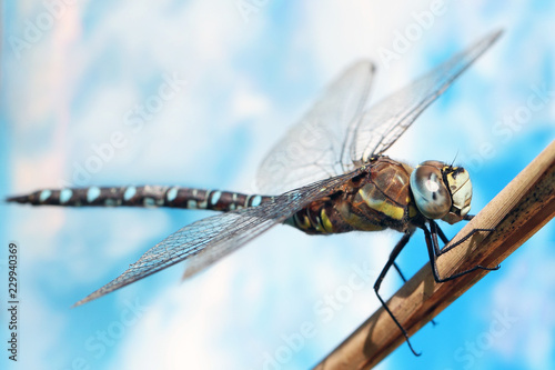 Dragonfly sitting on a stalk of grass.