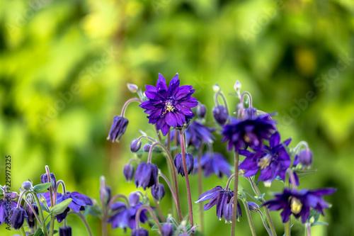 Leinwand Poster Blue doubled columbine flower