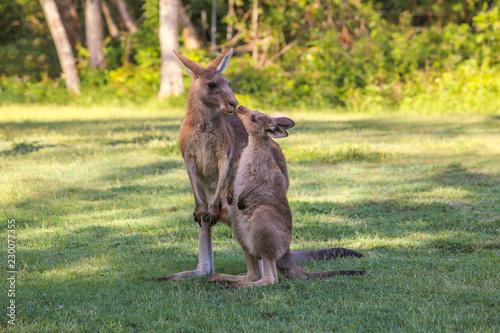 Young kangaroo  kisses mother. Two kangaroos in Australia. Parental love