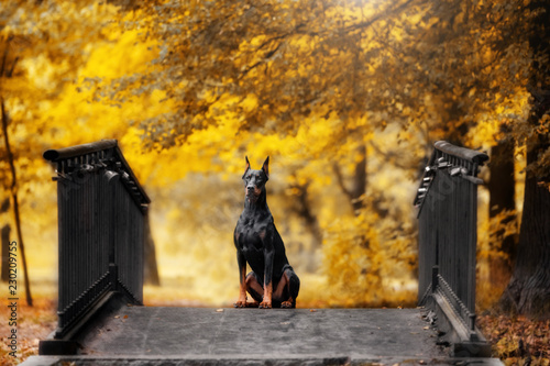 Murais de parede doberman sits on a bridge in autumn park