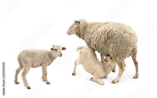 White small lamb is feeded of his mother sheep (Ovis aries) on a white background