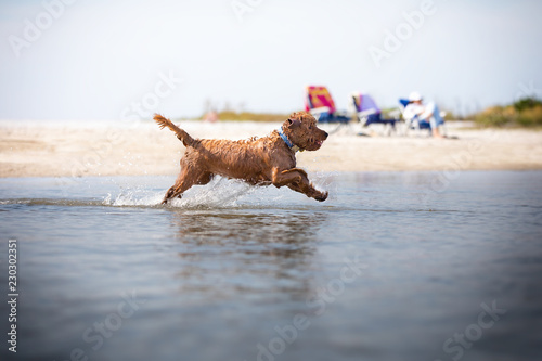 Miniature golden doodle playing in water running and fetching Fototapeta