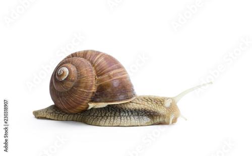 Garden snail isolated on white