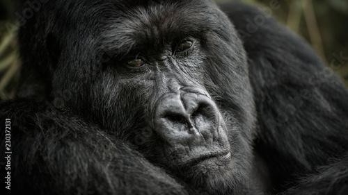 Huge gorilla silverback close up portrait. Wild animal in the nature habitat. African wildlife.Big and charismatic gorilla leader. Mountain gorilla. Gorilla beringei beringei