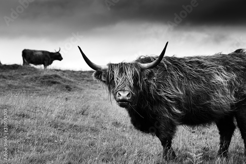 Fotografia Hairy scottish highlander in natural scape on a cloudy day