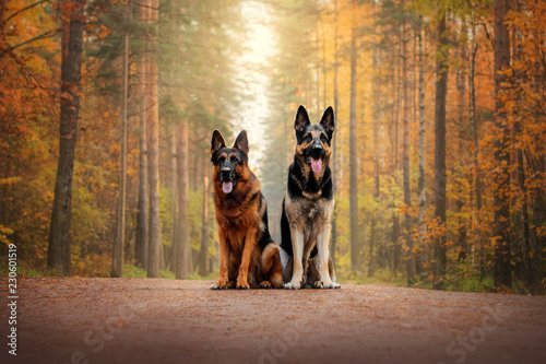 Canvas Print German Shepherd Dog and East European Shepherd Dog for a walk in the autumn fore