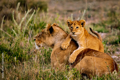 Fotografia lion cub with his mother in serengeti