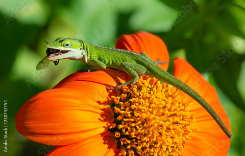 Green Anole or Carolina anole lizard preying on Mexican sunflower with a fly in the mouth.
