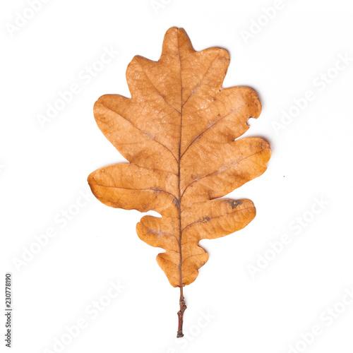 single dry yellow oak leaves