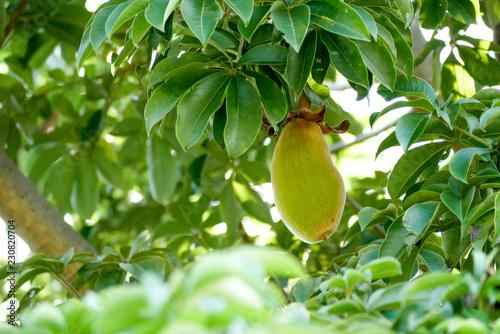 Fotografia African baobab fruit or Monkey bread