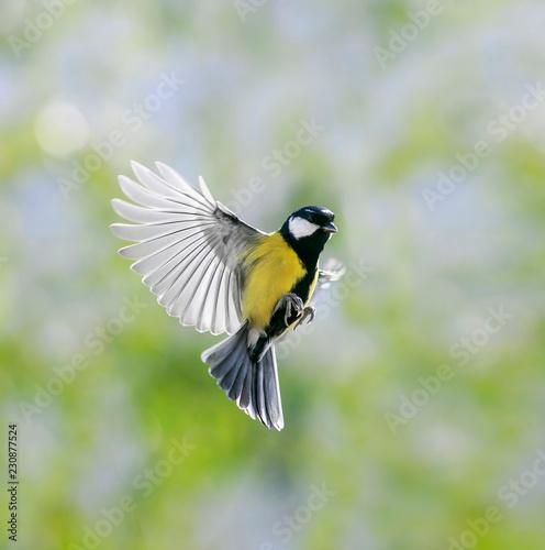 Fototapeta premium naturalny portret mała piękna sikora leci w słonecznym wiosennym ogrodzie, potrząsając szeroko skrzydłami i piórami