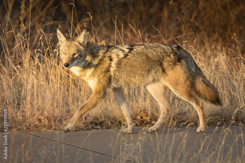 Wallpaper Mural Sidewalk Coyote