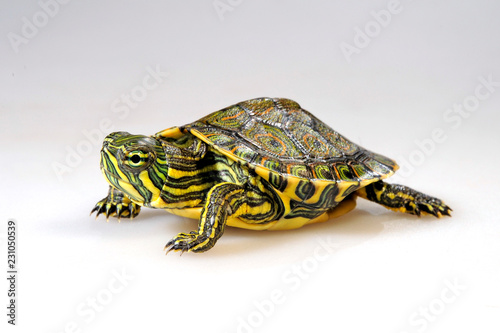 junge Schmuckschildkröte (Trachemys venusta) - Meso-American slider