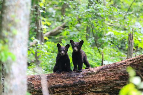 Obraz na plátne Twin Black Bear Cubs