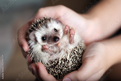 Obraz na plátne Cute african hedgehog on baby palms