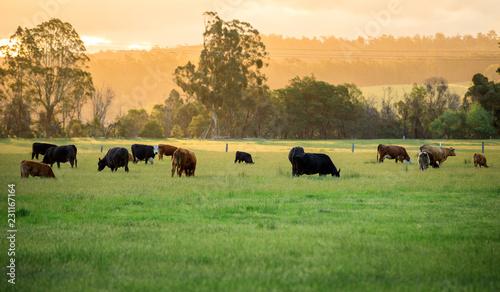 Canvas Australian cattle farm in Victoria, Australia