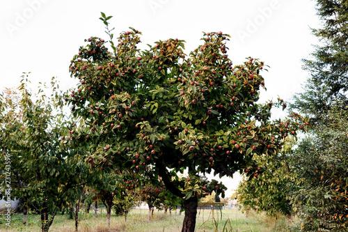 Tree of medlar
