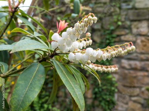 Canvastavla Pieris japonica or andromeda or fetterbush plant.