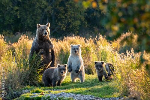 Fototapeta premium Duża dorosła samica niedźwiedzia brunatnego z Alaski z trzema uroczymi młodymi stojącymi na trawiastej mierzei w rzece Brooks, Park Narodowy Katmai, Alaska, USA