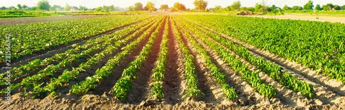 Fotografie, Tablou vegetable rows of pepper grow in the field
