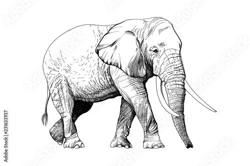 Fototapeta premium Słoń ręcznie rysowane ilustracje